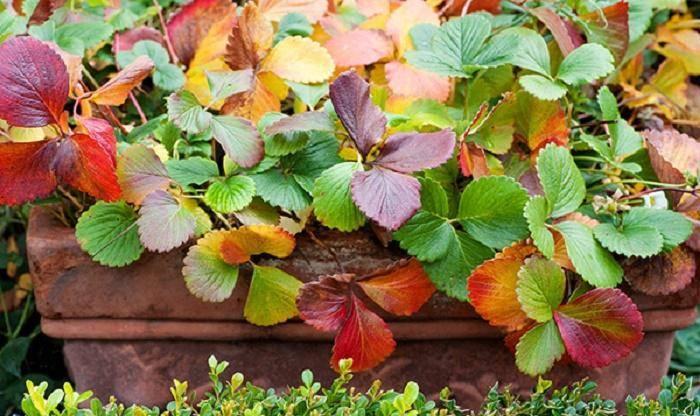 Что делать, если земляничные листья сохнут, скручиваются, появляется гниль