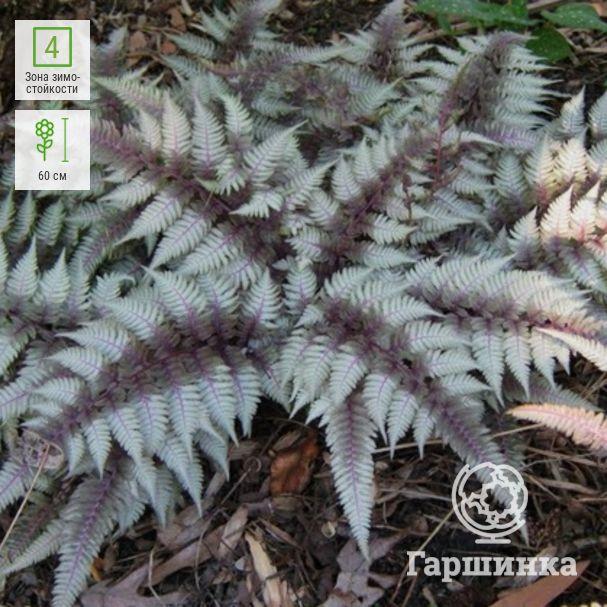 О папоротнике садовом: описание сорта, как посадить и ухаживать за растением