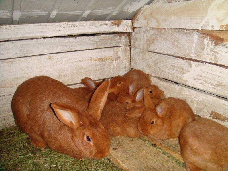 Новозеландские кролики белые и красные - характеристики породы, особенности разведения, фото | россельхоз.рф