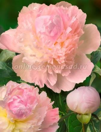 Пион травянистый: описание, правильный уход и выращивание - энциклопедия цветов