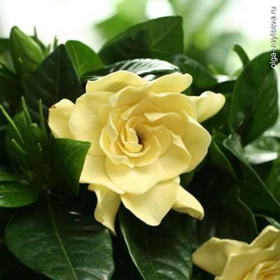 Жасминовидная гардения (gardenia jasminoides): пересадка и размножение