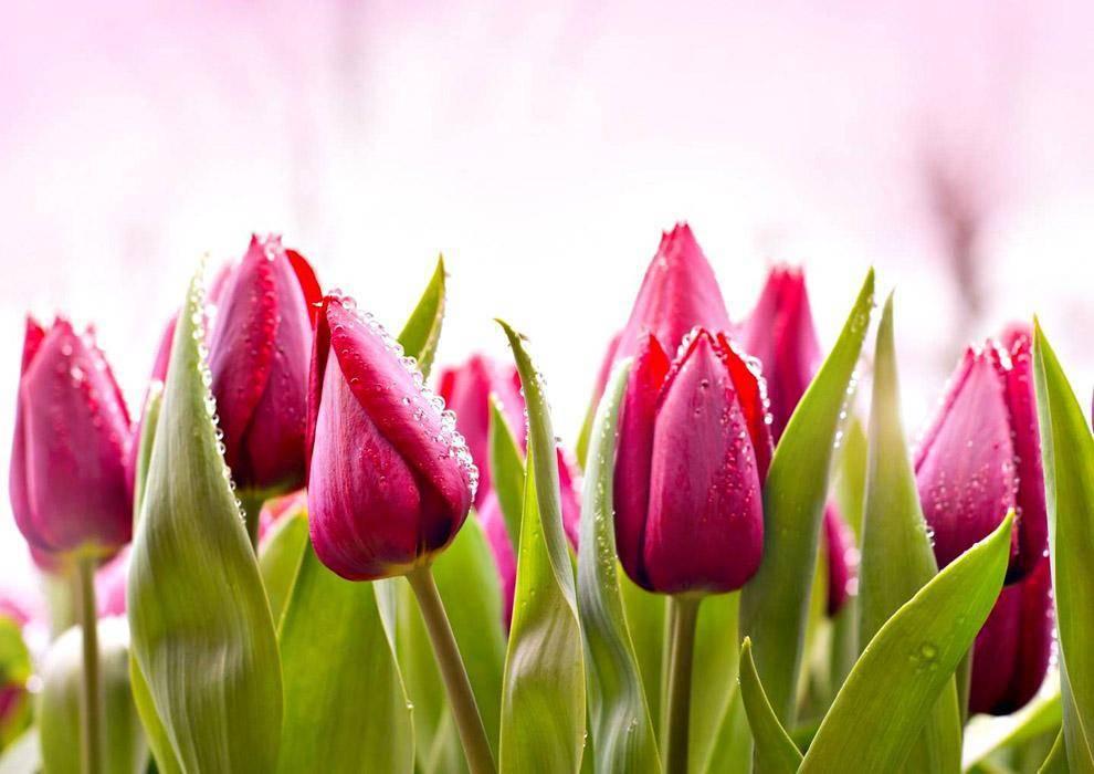 Тюльпан, описание, виды, лечебные свойства, интересные факты
