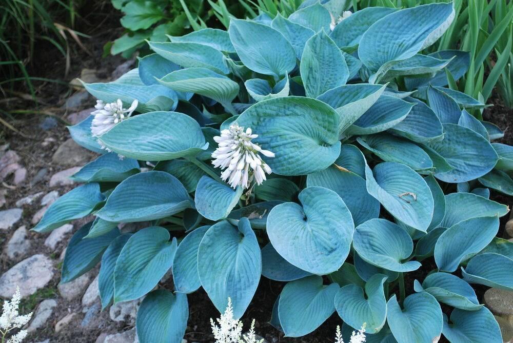 Осеннее деление хост – как размножить декоративное растение самому