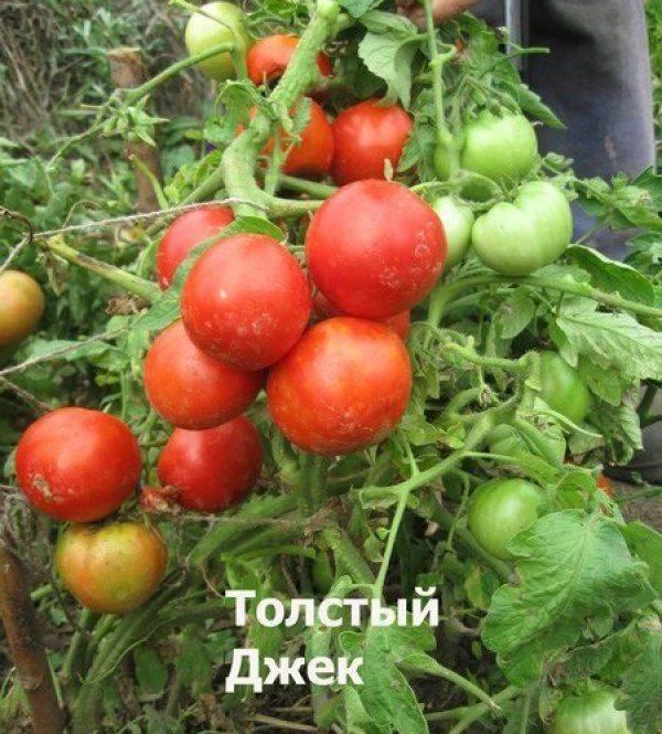 Томат толстый джек: отзывы, фото, урожайность, описание и характеристика | tomatland.ru