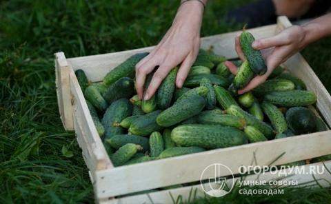 Огурец маринда f1: особенности выращивания и уход