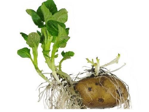 Нужно ли обрывать ростки у картофеля перед посадкой, что делать с белыми ростками