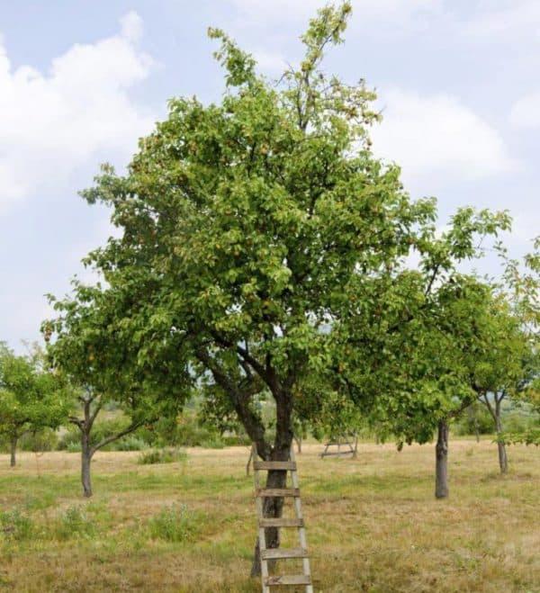 5 главных причин, почему не плодоносит груша