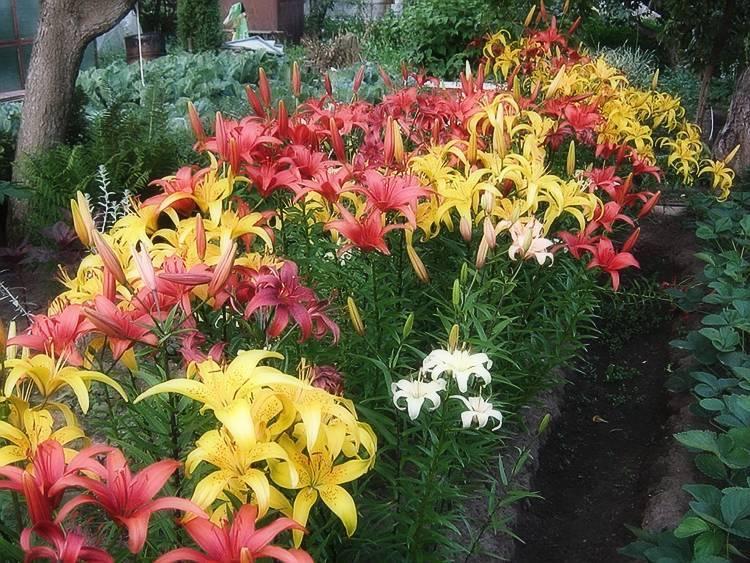 Лилия (101 фото): посадка и уход за цветком в открытом грунте. как выглядит садовая лилия? как рассаживать луковицы весной? оформление участка лилиями