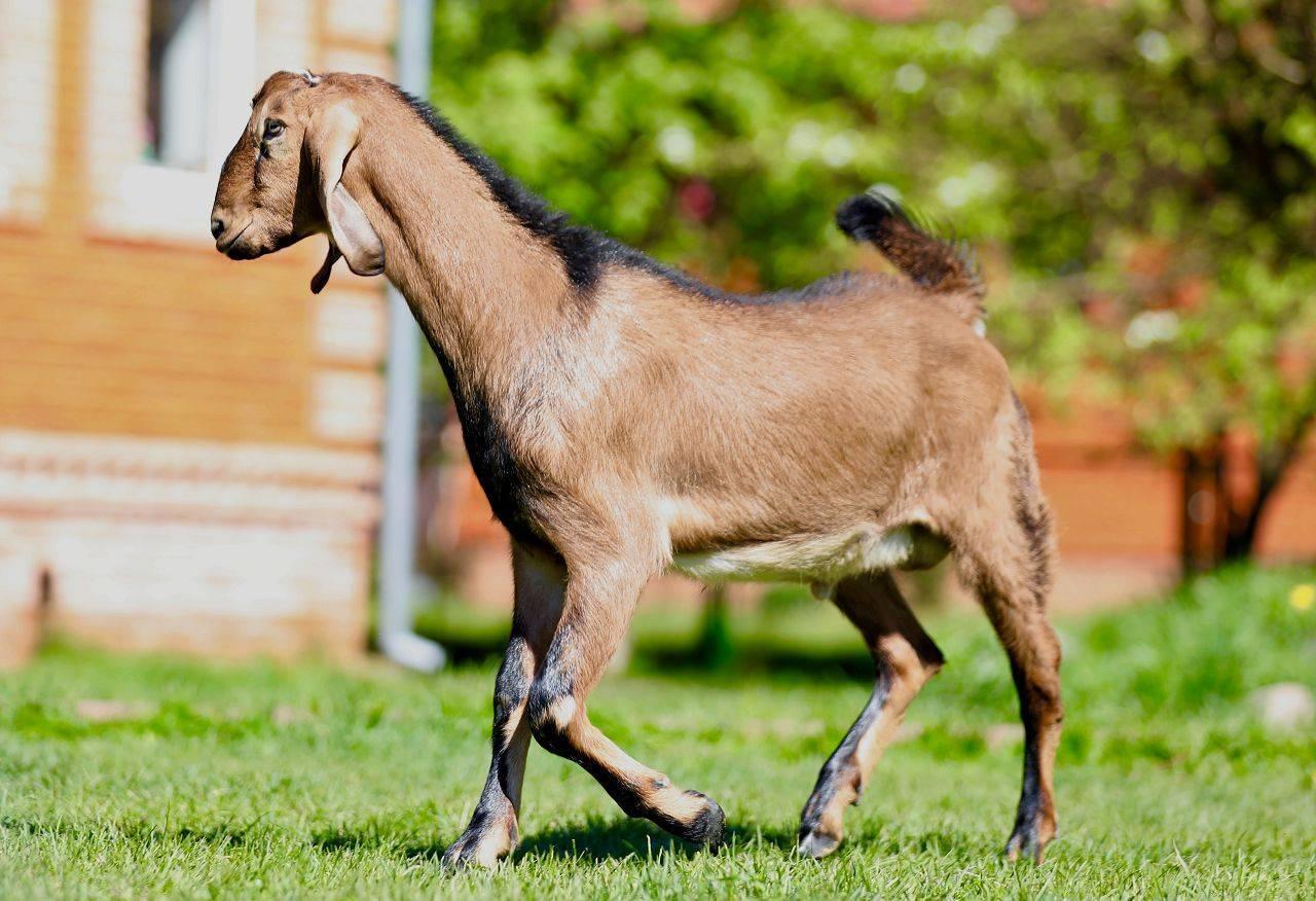 Особенности зааненской породы коз
