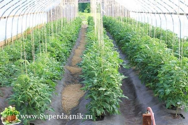 Способы правильной подвязки помидор в теплице и открытом грунте
