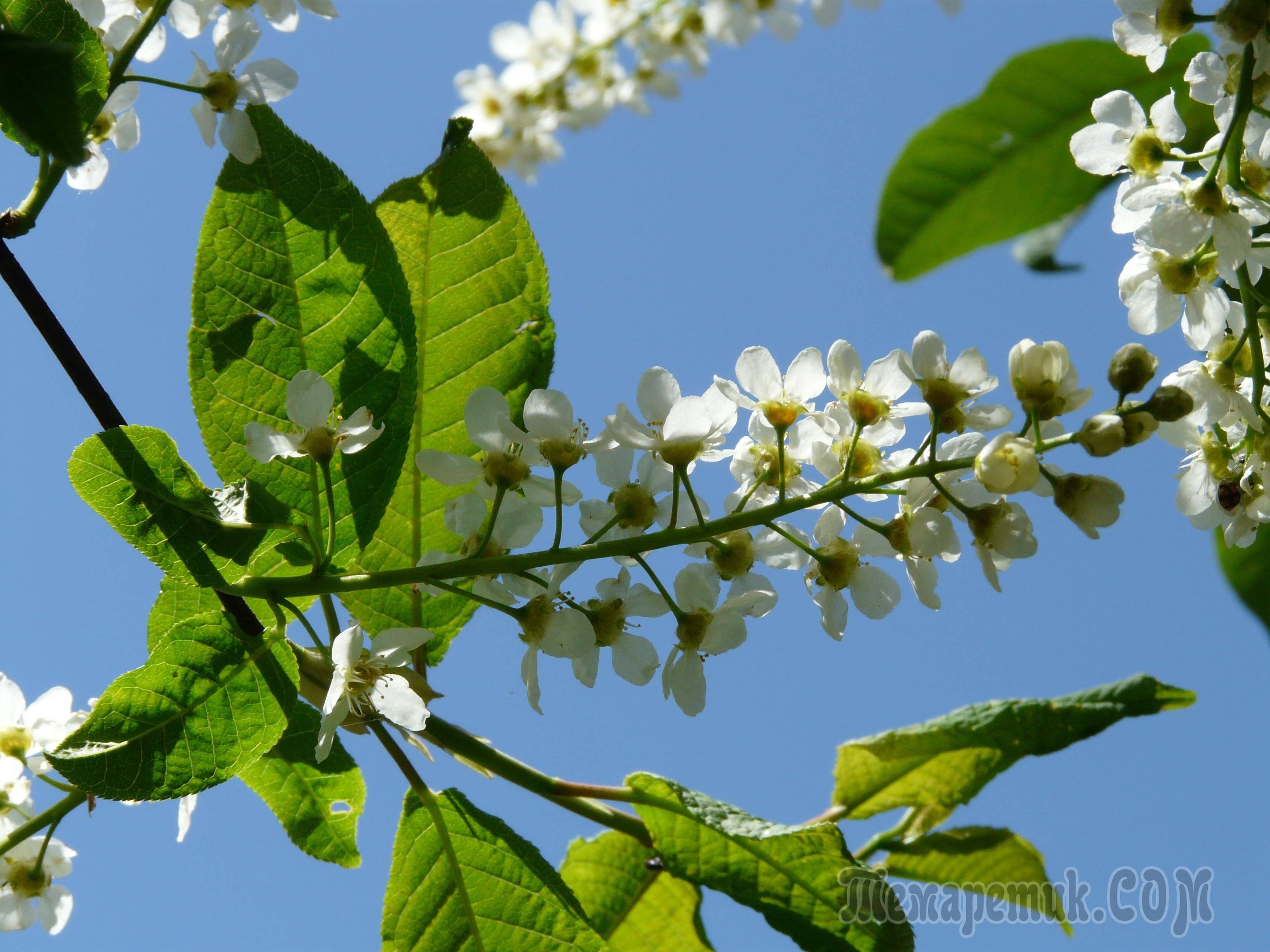 Черешня цветет не плодоносит что делать. почему черешня не плодоносит. черешня не плодоносит, причины, решение проблемы, видео