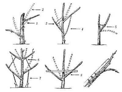 Как правильно обрезать колоновидную грушу осенью: инструкция для начинающих