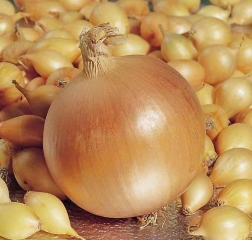 Голландский гибрид лук геркулес: описание сорта и отзывы