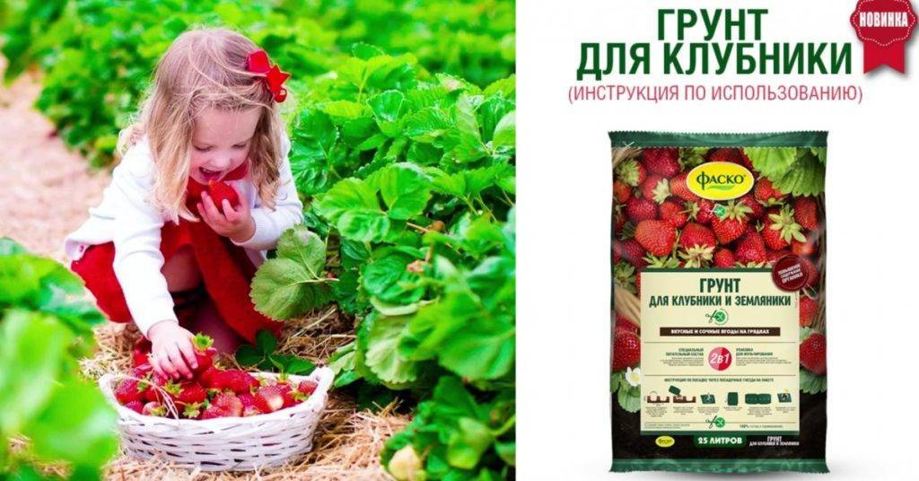 Выращиваете клубнику? внесите жизнь в почву!