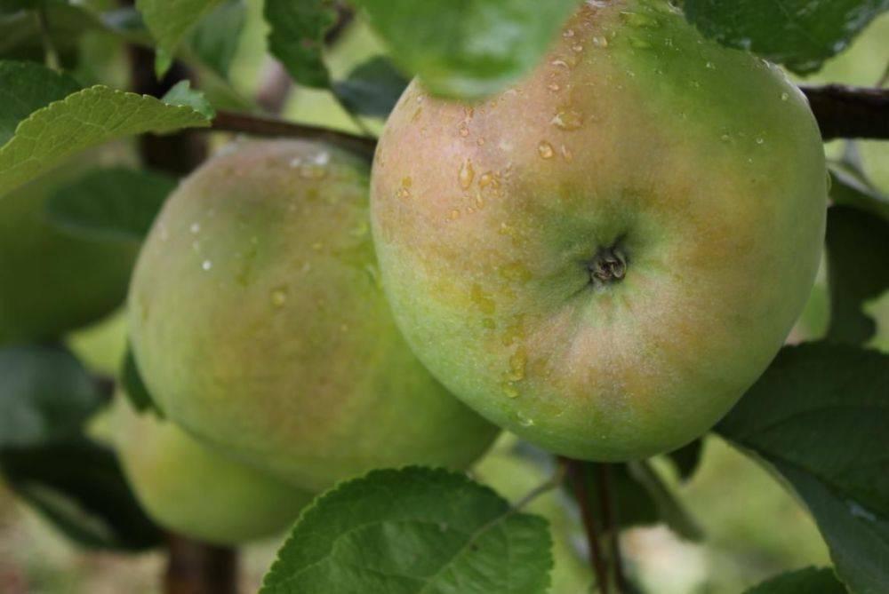 Сорт яблони брянский: описание и фото, особенности выращивания и характеристики