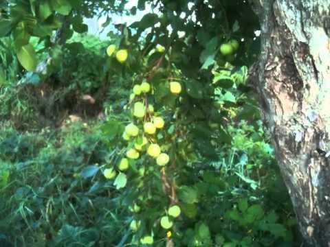 О яблоне исеть белая, описание позднего сорта, характеристики, как сажать