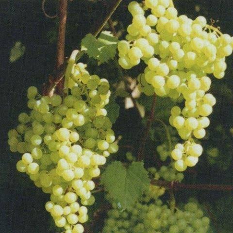 Виноград без семечек — столовый сорт «коринка русская»