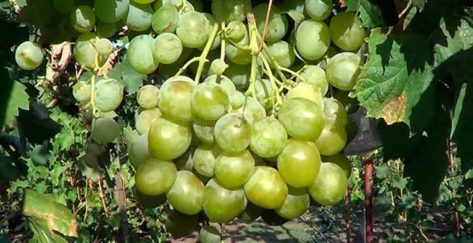 Виноград кеша: описание сорта, фото, характеристики гибридов - общая информация - 2020