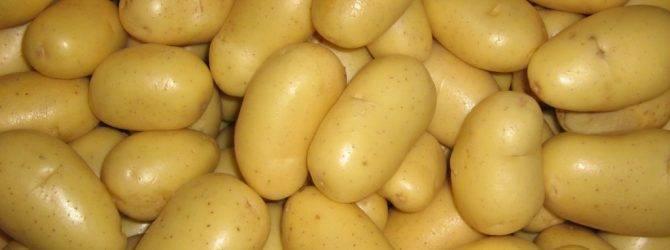 Раннеспелый картофель «лига» — клад для огородника: подробное описание сорта, характеристика, подборка фото