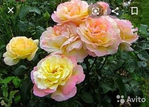 Преимущества и недостатки розы глория дей