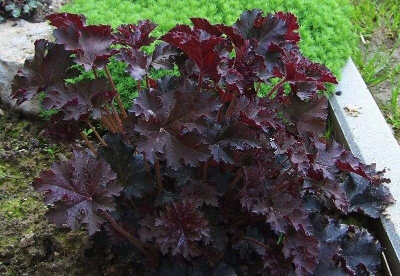 Гейхера – выращивание из семян в домашних условиях