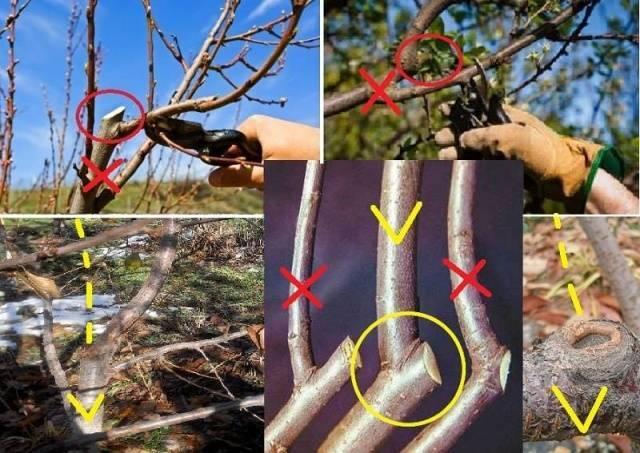 Неприхотливая черешня ревна: выращивание и уход в условиях средней полосы