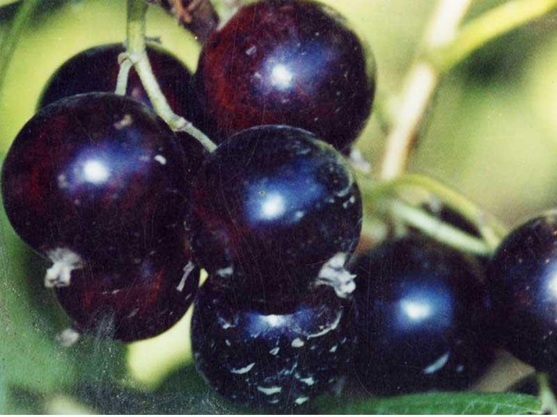 Черная смородина: выбор сорта, агротехника выращивания, посадка и уход за кустами