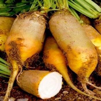 Кормовая свекла: выращивание, сорта