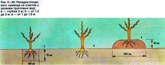 Как сажать яблони, если близко грунтовые воды: сорта для посадки на холм