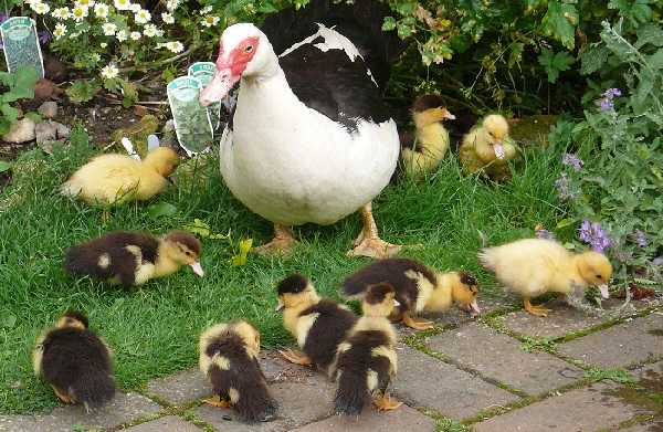 Об различии утки и селезня: как определить пол утенка, способы отличия