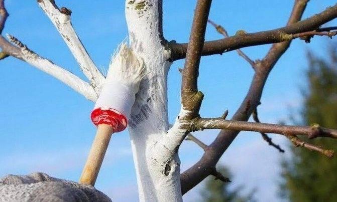 Чем побелить осенью яблони. популярные составы для побелки