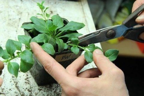 Секреты, как правильно прищипывать петунию для обильного цветения и кустистости. | садовый участок