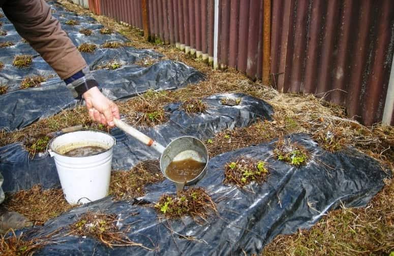 Куриный помет как удобрение как применять. 9 вариантов, как разводить куриный помет для растений.