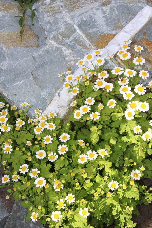Подборка очаровательных цветов, похожих на ромашки
