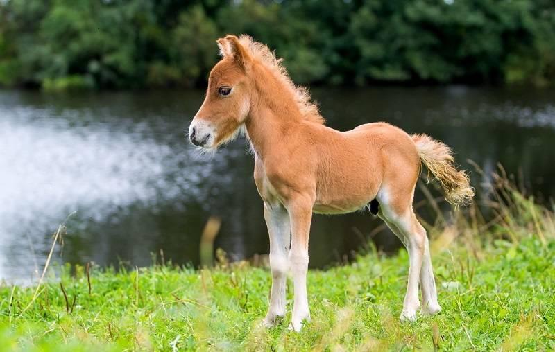 Описание пород мини-лошадей и правила ухода, самые маленькие особи в мире