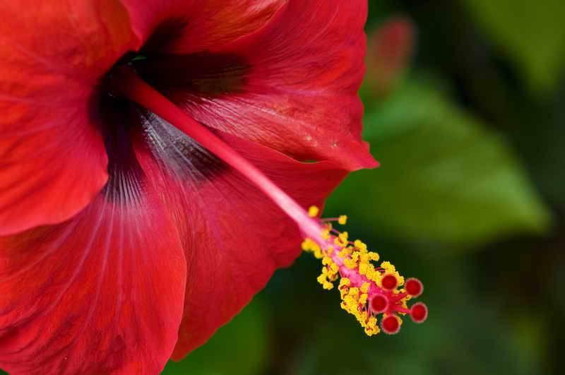 Гибискус садовый
