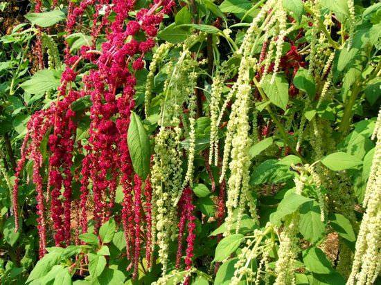 Садовый цветок амарант: характеристика и уход за растением - энциклопедия цветов
