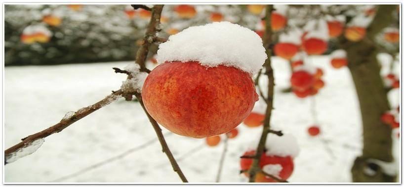 Замерзла вишня: рекомендации по уходу