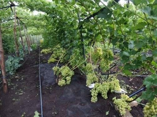 Полив винограда — сколько нужно поливать виноград летом и как это делать правильно. видео, советы и 115 фото