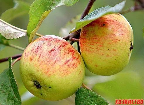 Скороплодная яблоня орловское полосатое: описание, фото