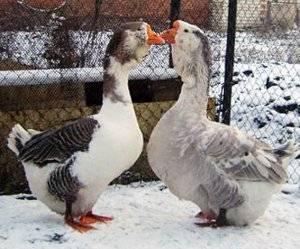Гусь с«кошельком». зачем грайворонец разводит редкую породу домашних птиц