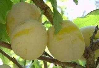Слива — подбор сортов и особенности выращивания