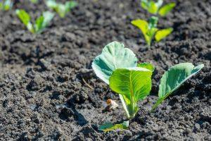 Как правильно ухаживать за рассадой капусты дома