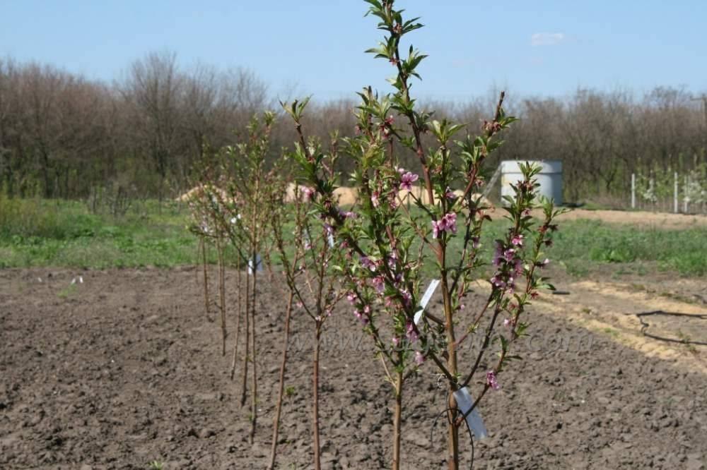 Как правильно посадить сливу весной, пошаговое руководство