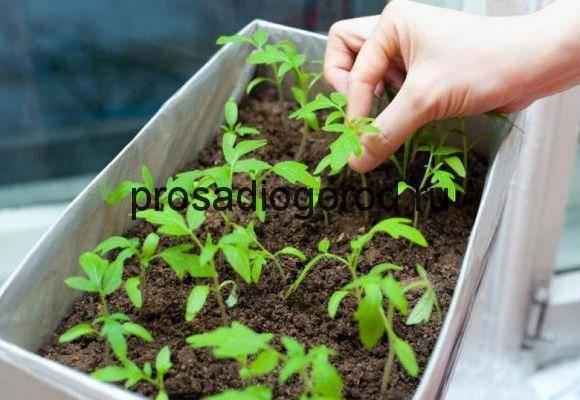 Как задержать рост рассады томатов: эффективные способы