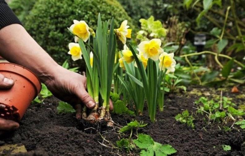 Правильная пересадка: когда и как пересаживать нарцисс после цветения?