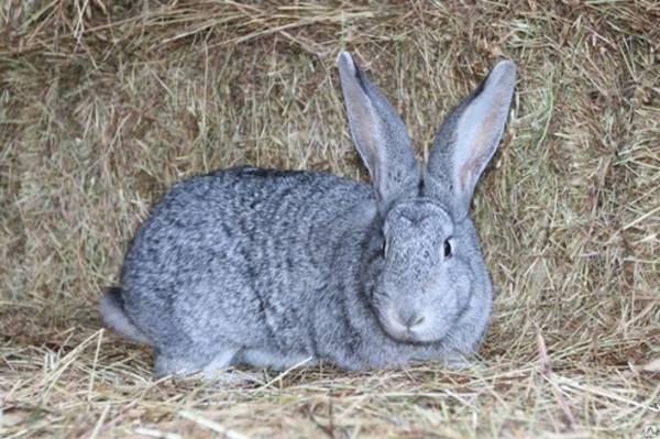 Характеристика породы кроликов серый великан