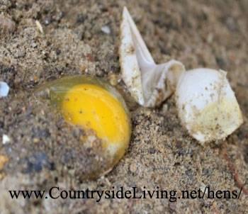 Причины появления у кур необычных яиц