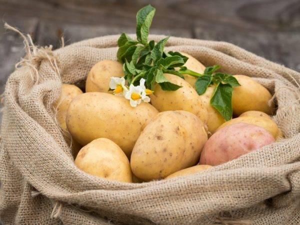 Ранние сорта картофеля для посадки в разных регионах россии. | красивый дом и сад