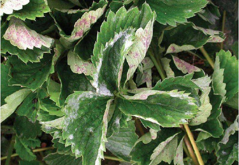 Почему у фикуса скручиваются листья: лечение.